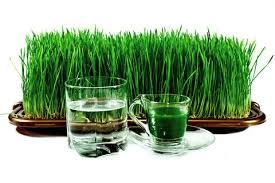 Image result for tips budidaya wheatgrass