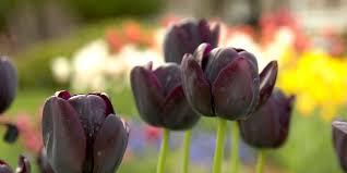 Best <b>Black Flowers</b> to Grow | Better Homes & Gardens