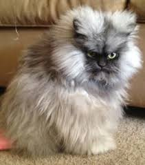 Persian Cats on Pinterest | Ragdoll Cats, Maine Coon and Maine ... via Relatably.com