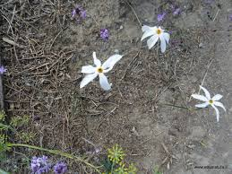 Etnanatura Flora: Narcissus obsoletus