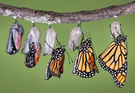 Image result for metamorphosis of butterfly