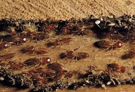 Termites on a wood pile