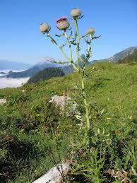 Cirsium eriophorum - Wikipedia