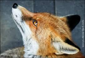 H αλεπού που ονειρεύεται...