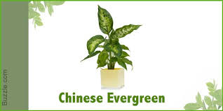 chinese evergreens or aglaonema are probably the most common and long lasting indoor plants these plants are a native to southeast asia and can be found best office plants no sunlight