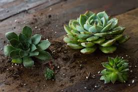 Succulents Explained: How to Identify and Grow Sempervivums ...