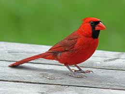 Image result for cardinal bird