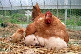 Resultado de imagem para mae galinha