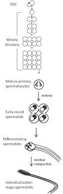 the poly a polymerase gld is required for spermatogenesis in figure