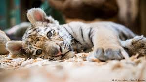 Image result for sick tiger cub