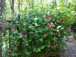 Image result for pink honeysuckle bush
