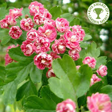 hawthorn crataegus laevigata rosea flore pleno tree double pink hawthorn crataegus laevigata rosea flore pleno tree double pink flowering followed by red