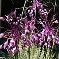 Allium carinatum - Pacific Bulb Society