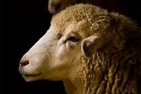 Почему умерла <b>овечка</b> Долли - Парламентская газета