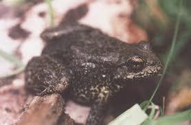 Sierra Nevada yellow-legged frog