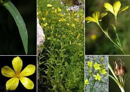 Linum flavum L. - Sistema informativo sulla flora delle Alpi Carniche ...