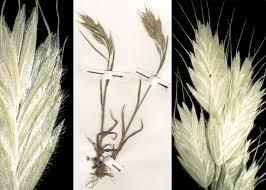 Bromus hordeaceus L. subsp. molliformis (J.Lloyd ex Billot) Maire ...