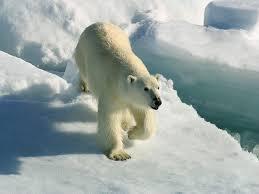Полярный <b>белый медведь</b> с Холодного <b>Севера</b> - origins.org.ua
