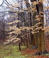 Image result for american beech tree winter