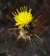 Centaurea solstitialis - Wikipedia