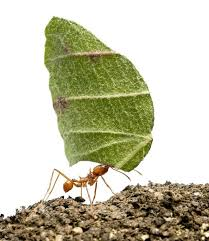 Image result for ant can carry 52 times of its own weight