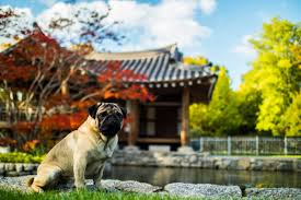 The History of <b>Pugs</b> in Ancient <b>China</b> - PetHelpful - By fellow animal ...