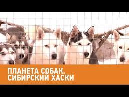<b>Сибирский хаски</b>. Планета собак Моя Планета - YouTube