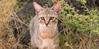 The Origins Of <b>Cats</b> | International <b>Cat</b> Care