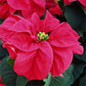 Production Guidelines - Poinsettia Cultivation - Commercial ...