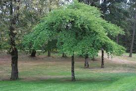 Image result for tupelo tree