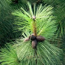 Image result for Yellow Pine Tree