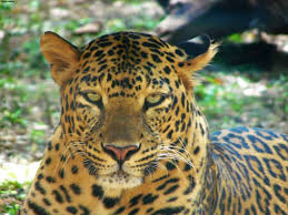 Panthera pardus fusca