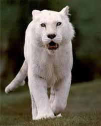 les lions blanc Images?q=tbn:ANd9GcRdb-BKyvsIfK3YtexbNQyNfbzhx7rh2WxL11kC-yTO2aSNrAx4Ww