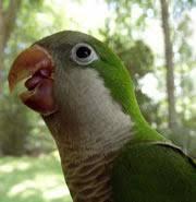 <b>Parrots</b> speak in tongues : Nature News