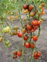 <b>Томат Черный мавр</b>: отзывы, фото, урожайность | tomatland.ru
