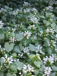 Lamium Groundcover Plants and Flowers