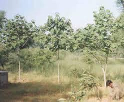 Gmelina <b>arborea</b> - Wikipedia