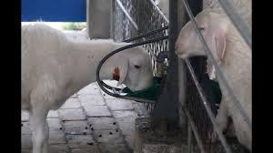 GREAT FARM COPPER VALVE TYPE <b>SHEEP DRINKING</b> BOWL ...