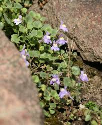 Cymbalaria pallida - Wikipedia