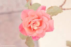 Resultado de imagem para rosa vintage
