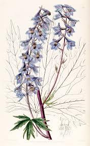 Delphinium - Wikipedia