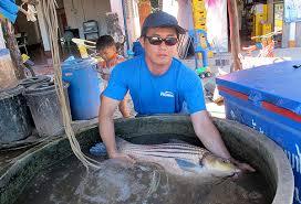 Living treasure: Jullien's <b>golden carp</b>