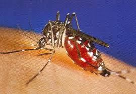 This is a mosquito drinking blood and passing fluids