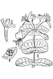Plants Profile for Lonicera caprifolium (Italian woodbine)