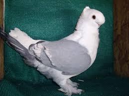 Résultats de recherche d'images pour «bluette pigeon»
