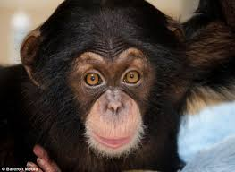 Image result for happy chimp