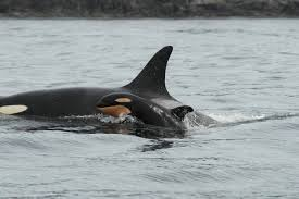 Image result for newborn killer whale