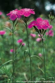 Dianthus seguieri Vill.