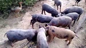 Resultado de imagem para porcos no chiqueiro