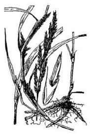 Plants Profile for Muhlenbergia frondosa (wirestem muhly)